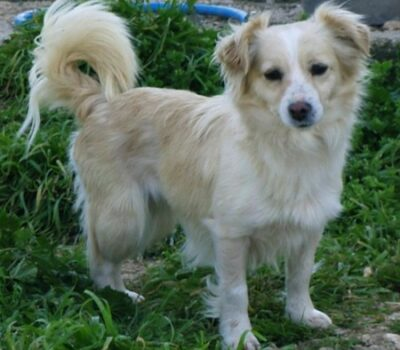 Small Greek Domestic Dog,Kokoni,