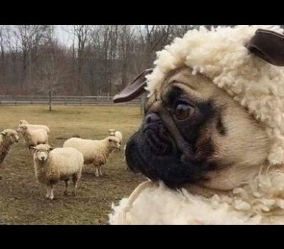 Pug, sheep, Campaign for Wool