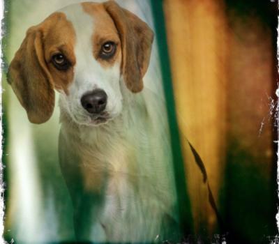 Beagle, harepied, color,