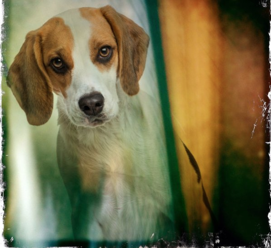 Beagle, harepied, color,