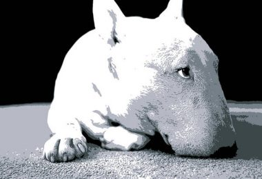 bull terrier, white, color, coat, genetics