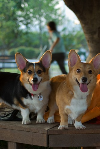 Cardigan Welsh Corgi, Pembroke Welsh Corgi, The Crown, Instagram, Vulnerable Breed