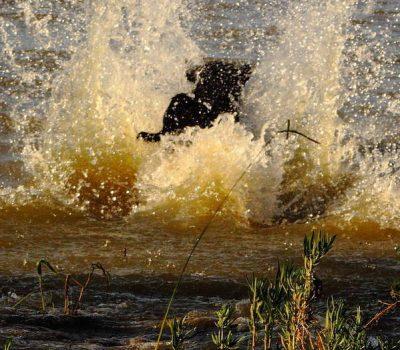Labrador Retriever, field trials, Averell Harriman,Jim Cowie,