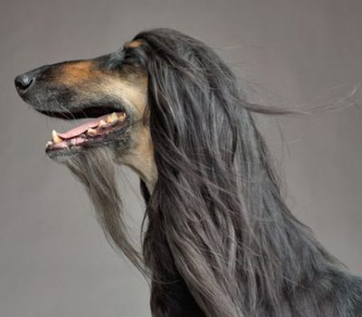 Afghan Hound, hair, coat, fur, monkey whiskers, mandarin,