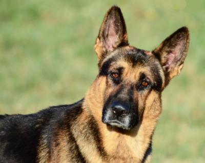 German, K-9. military dog,