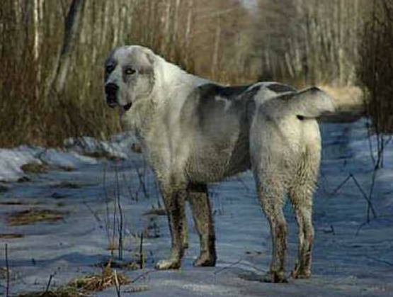 Sage Mazandarani, Iranian Beardog
