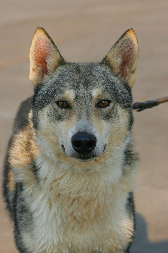 Sulimov, Sulimov dog, hybrid, Siberian Husky, jackal