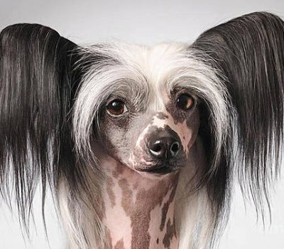 Chinese Crested Hairless, sweat,