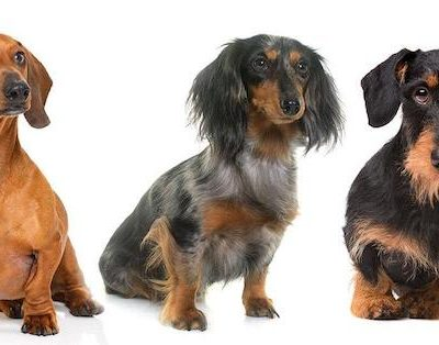 Dachshund, color, pattern, size,