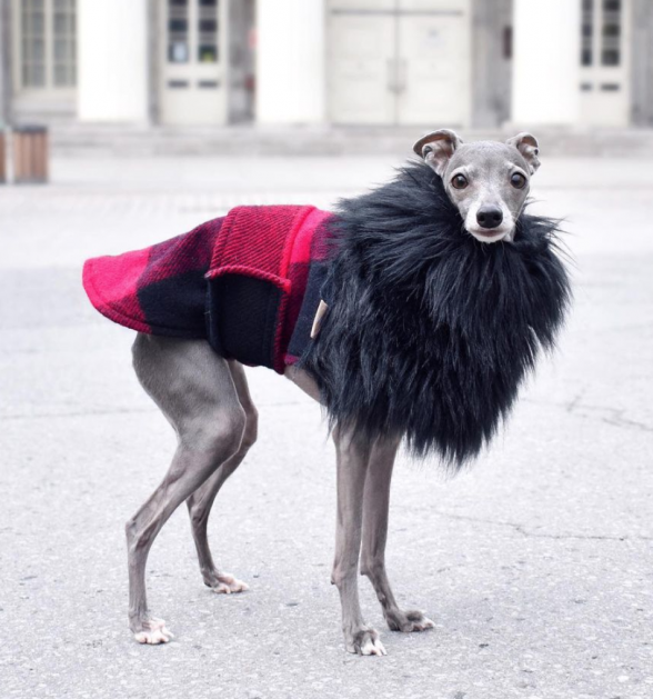 Italian Greyhound, TikTok,Instagram, Sofia Vergara, Tika, Sharon Osborne