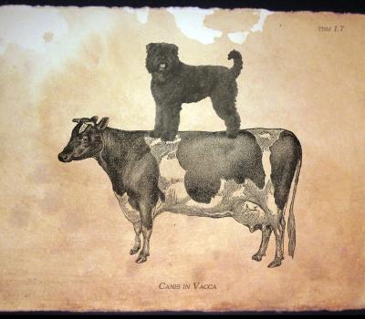 Bouvier des Flandres, Cow-Herder Dog of Flanders, Dr. Aldolphe Reul,