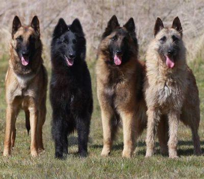 collarette, Belgian Sheepdog, Belgian Malinois, Belgian Sheepdog, Belgian Tervuren, coat, hair, terms