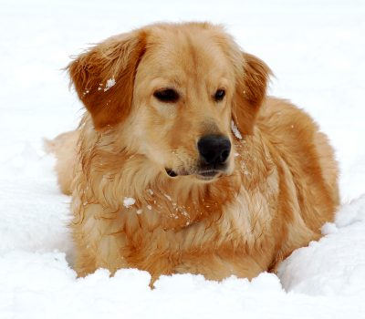 Kurt F. König, Hovawart, Hovie, color, Golden Retriever