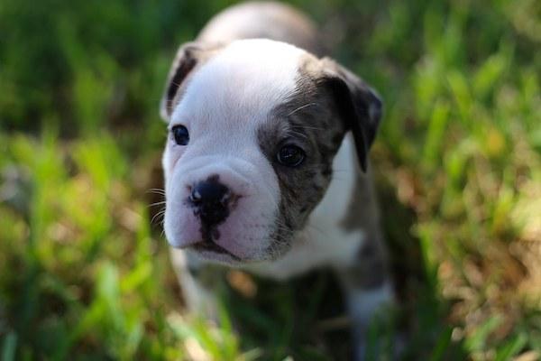 Olde English Bulldogge,Leavitt Bulldog,David Leavitt,Dr. Nathan Fechheimer
