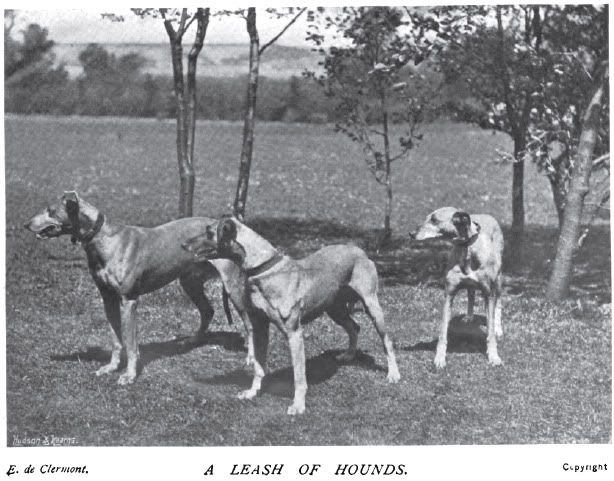 Kangaroo Hound, Australian Greyhound
