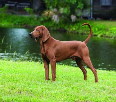 Redbone Coonhound, Where the Red Fern Grows, Wilson Rawls, Nite Hunt