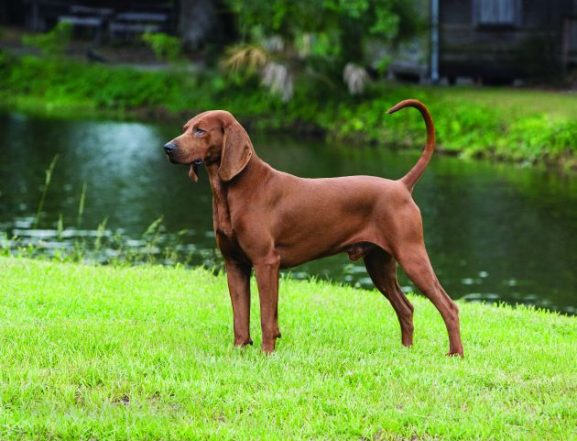 Redbone Coonhound, Where the Red Fern Grows, Wilson Rawls, Nite Hunt