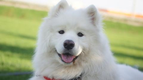 Samoyed, smile,