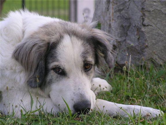 Greek Shepherd, custom, scarring, ears, superstition,Olympus Dog, Greek Shepherd, Hellenikos Poimenikos