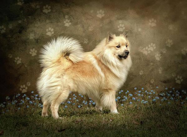 Icelandic Sheepdog, Ísländshunden, Fårehund, Friaar-Hound,names, Íslenskur fjárhundur, Iceland Dog, Icelandic Spitz, Friaar, Fiaarhundur
