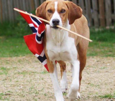 Hygenhund,Hans Fredrik Hygen,hunting dog