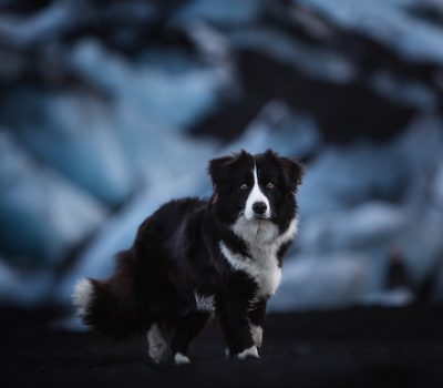 Border Collie, crouch, structure