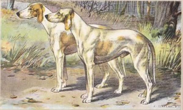 Billy, chien de grande venerie,Chien de France-Comte,chasse à courre,Grandevénerie