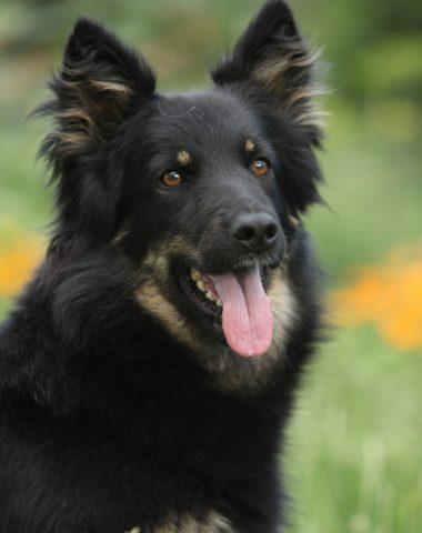 Bohemian Shepherd,Czech Sheepdog, Chodenhund, Chodsky Pes, Bohemian Herder,Dr. Vilem Kurz,Mr. Jan Findejs