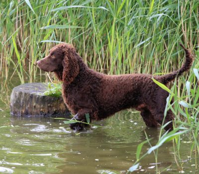 rocker,tail,American Water Spaniel