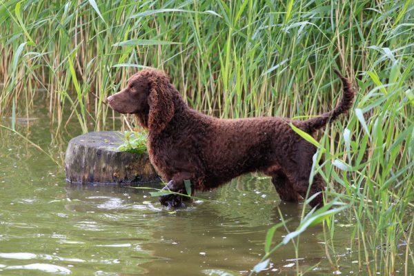 rocker,tail,American Water Spaniel
