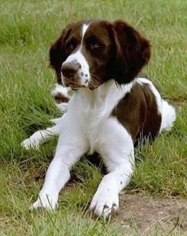 Drentsche Patrijshond, Drentsche Partridge Dog