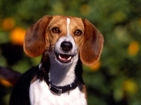 Kerry Beagle,St. Hubert Hound,Scarteen House