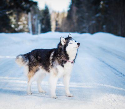 sledge dog, travois, Alaskan Malamute, weightpull