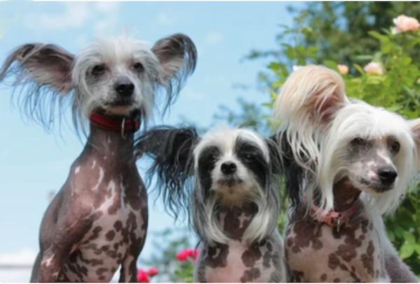 Chinese Crested Hairless, hairy hairless