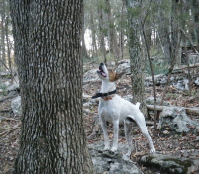 Feist, Rat Terrier,Teddy Roosevelt Terrier