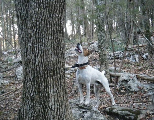 Feist, Rat Terrier,Teddy Roosevelt Terrier