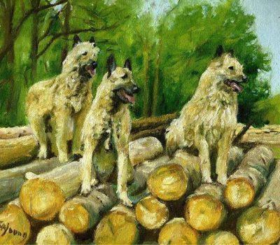 Belgian Laekenois,Belgian Malinois, Belgian Sheepdog, coat