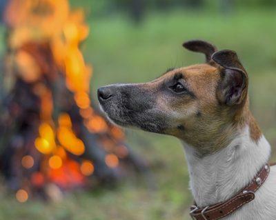 Terriers, Pug, fire, standard