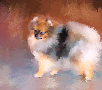 Pomeranian, Victorian Pomeranian, throwback Pomeranian, Queen Charlotte, Queen Victoria, size
