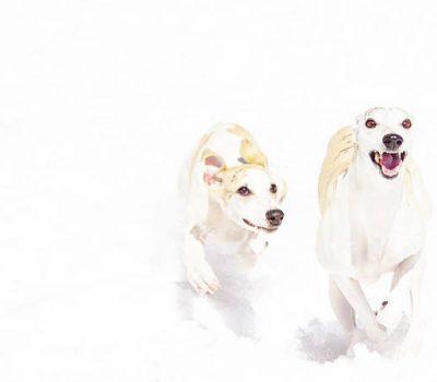 Whippet, Coursing Terrier