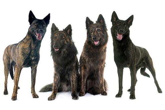 Langhaar Hollandse, Ruwhaar Hollandse, Korthaar Hollandse, Dutch Shepherd