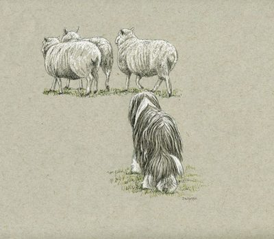 Bearded Collie, New Zealand Huntaway, huntaway, herding style