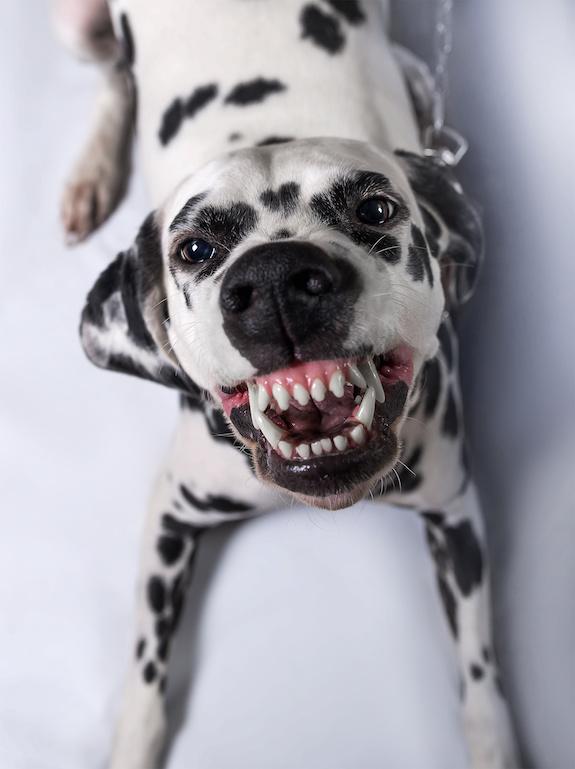 Dalmatian,Smarl, Road Dog, Dalmatian smile