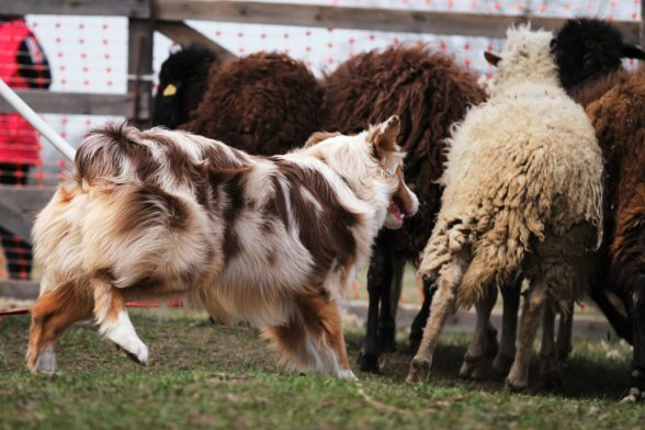 Australian Shepherd,New Mexico Shepherd, history, Pastor Dog, Bob-tail, Spanish Shepherd