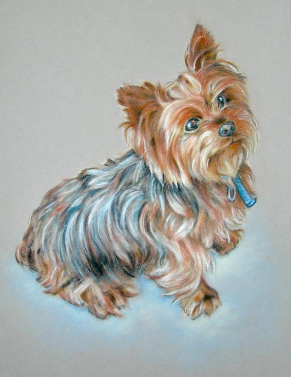 Silky Terrier, Australian Silky Terrier,Victorian Silky Terrier, Sydney Silky Terrier