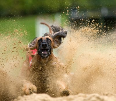 afghan hound, racing,Afghan Hound, racing,Afghanischer Windhund, African Hound, Balkh Hound, Baluchi Hound, Barutzy Hound, Eastern Greyhound, Galanday Hound, Kabul Hound, Kuchi Hound, Levrier Afghan, Ogar Afghan, Shalgar Hound,Tazi