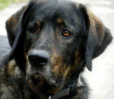 Cão de Castro Laboreiro, Portuguese Cattle dog, Portuguese watchdog,Castro Laboreiro