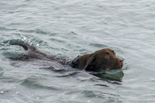 Chesapeake Bay Retriever, field trials, pass shooting, Golden Retriever, Labrador Retriever