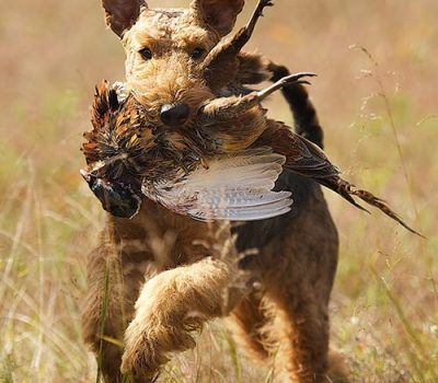 Airedale Terrier, hunting