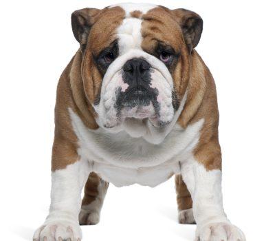 Bulldog, calves, turn of shoulder, standard, terms